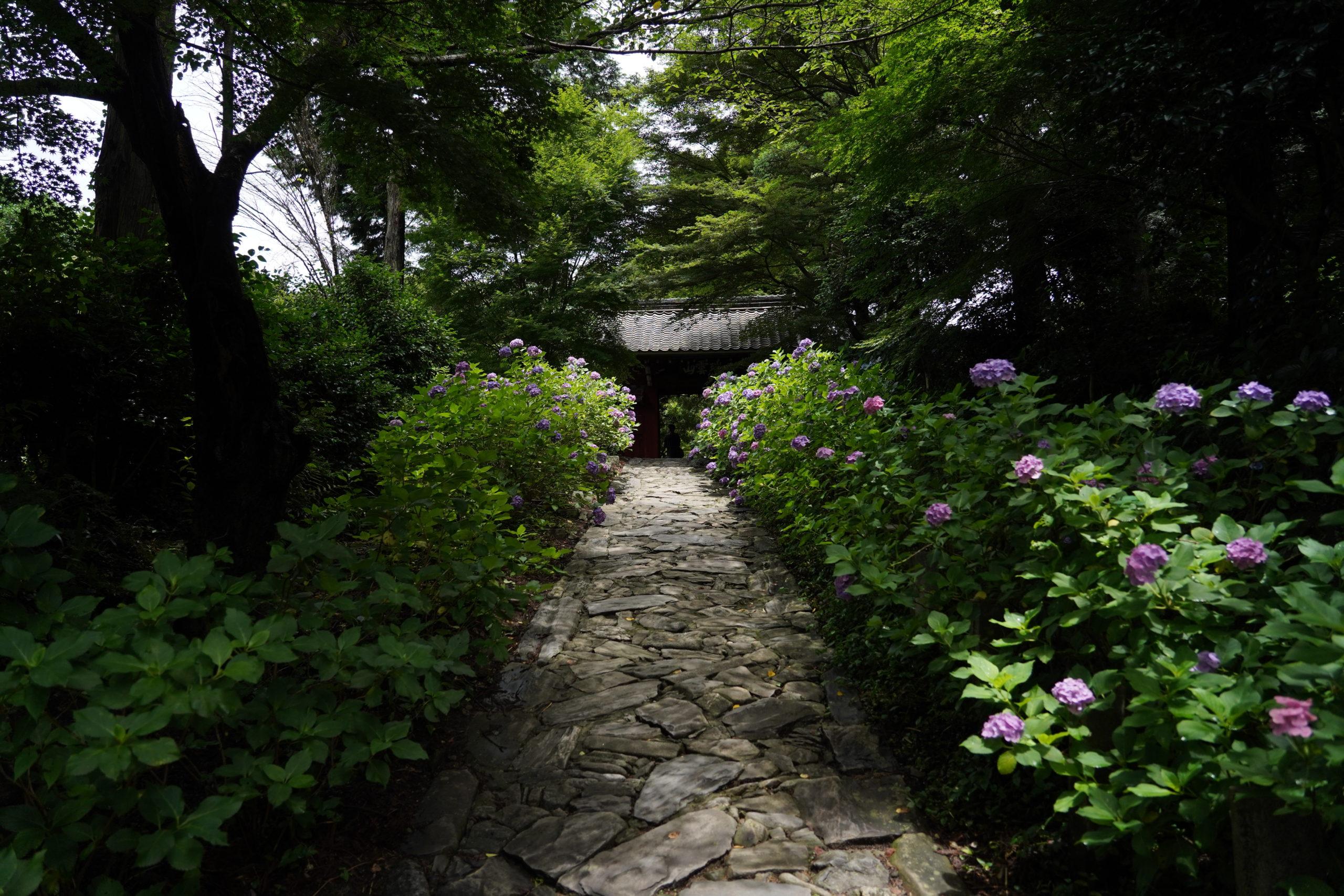 【愛知県幸田町】本光寺で、満天の紫陽花を撮影しに行きました