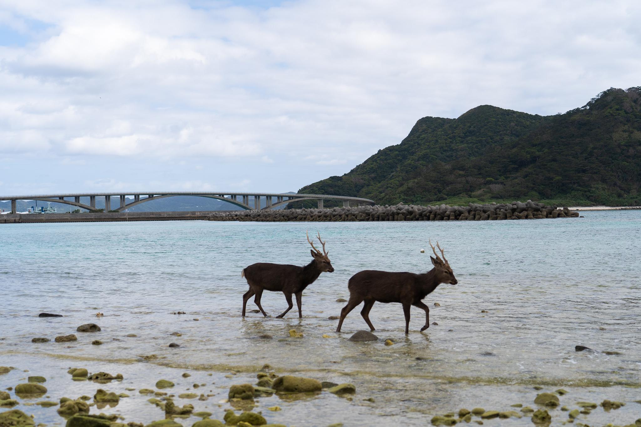 阿嘉島、慶良間島に~海で遊ぶ、天然記念物「ケラマジカ(鹿)」を見に~@沖縄